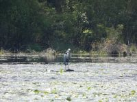 Great blue heron in main pond, 1 (May 2020)