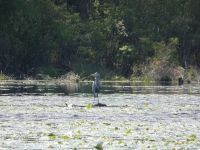 Great blue heron in main pond, 2 (May 2020)