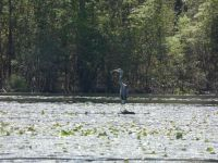 Great blue heron in main pond, 4 (May 2020)