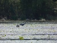 Great blue heron in main pond, 5 (May 2020)