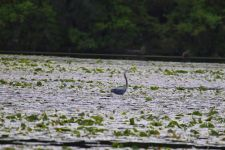 Great blue heron in main pond, photo by Leor Veleanu (May 2020)