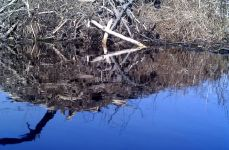Great blue heron, reflection in water while landing on beaver lodge, via trail camera (Feb 2016)