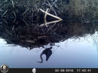 Great blue heron, reflection in water after landing on beaver lodge, via trail camera (Feb 2016)