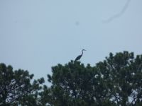 Great blue heron in tree at main pond (Aug 2020)