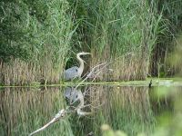 Great blue heron with reflection in main pond (Jun 2017)