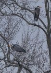 Great blue herons in tree, Unexpected Wildlife Refuge photo