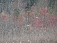 Great blue herons flight, landing and landed sequence at edge of Miller Pond, 3 (Apr 2020)