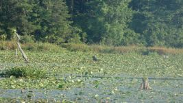 Great blue herons on stump and wading in main pond (Aug 2019)