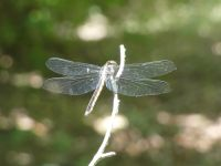 Great blue skimmer dragonfly young female at Miller Pond (Jun 2020)