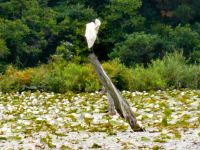 Great egret at Unexpected Wildlife Refuge