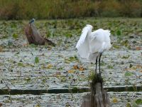 Great egret and belted kingfisher on main pond, Unexpected Wildlife Refuge photo