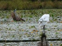 Great egret and belted kingfisher, main pond, Unexpected Wildlife Refuge photo