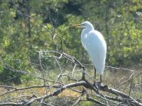 Great egret over main pond, Unexpected Wildlife Refuge photo
