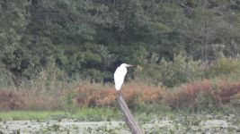 Great egret on stump in main pond (Aug 2019)