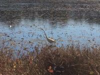 Great egret in main pond, photo by Mike Hickey (Nov 2016)