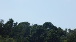 Great egret in pine tree at main pond (Jul 2019)