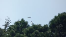 Great egret, Unexpected Wildlife Refuge photo