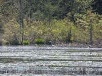 Great egret and turtle in main pond (May 2020)