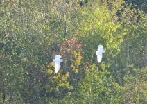 Great egrets flying over main pond (Sep 2017)