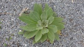 Great mullein, Unexpected Wildlife Refuge photo