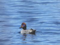 Male green-winged teal, Unexpected Wildlife Refuge photo