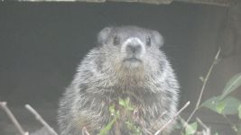 Groundhog, Unexpected Wildlife Refuge photo