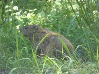 Groundhog at Headquarters, Unexpected Wildlife Refuge photo