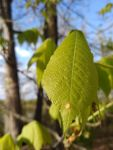 Hickory and gall on leaft west side of main pond (Apr 2019)