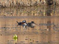 Hooded merganser couple on main pond, Unexpected Wildlife Refuge photo