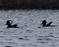 Hooded mergansers, Unexpected Wildlife Refuge photo