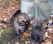 Hope Buyukmihci with beaver kit, Unexpected Wildlife Refuge photo