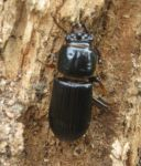 Horned passalus beetle, photo by Dave Sauder