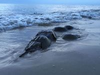 Atlantic horseshoe crabs