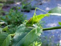 Katydid, Unexpected Wildlife Refuge photo