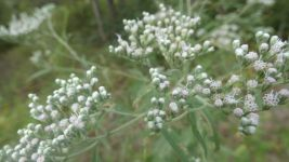 Late boneset, Unexpected Wildlife Refuge photo