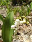 Lily of the valley, Unexpected Wildlife Refuge photo