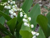 Lily of the valley near Miller House (May 2020)