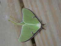 Luna moth, male, at Headquarters (May 2020)