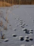 Main pond, frozen, covered in snow and paw prints, Unexpected Wildlife Refuge photo