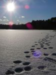 Paw prints across frozen main pond, with lens flare, Unexpected Wildlife Refuge photo