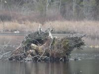 Tree stump in main pond with Canada goose in background (Feb 2020)