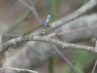 Male blue dasher dragonfly at Miller Pond (Aug 2020)