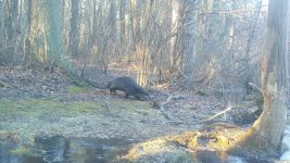 Mink and otters sequence near Bluebird Trail (09), 2nd otter follows 1st otter, trail camera photo (Feb 2020)