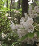 Mountain laurel, Unexpected Wildlife Refuge photo