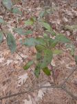 Mountain laurel with leaf blight fungus (Jan 2020)