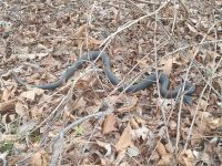 Northern black racer near cabin, Unexpected Wildlife Refuge photo