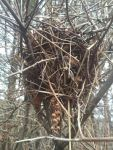 Northern cardinal nest, Unexpected Wildlife Refuge photo