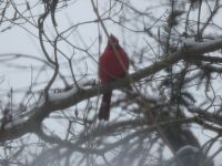 Northern cardinal, Unexpected Wildlife Refuge photo