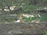 Northern cardinal, young male, 1 in series, near Headquarters (Jul 2020)