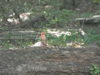 Northern cardinal, young male, 2 in series, near Headquarters (Jul 2020)